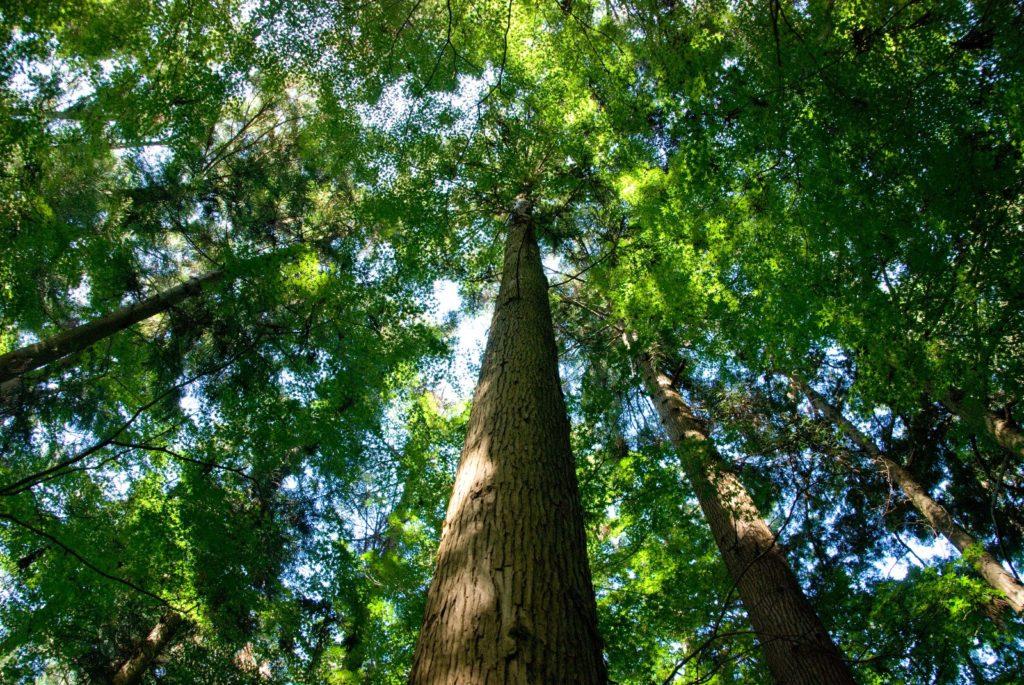 おやすみミスト用画像 杉